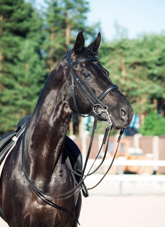 Портрет sportive жеребца черноты dressage стоковые фотографии rf
