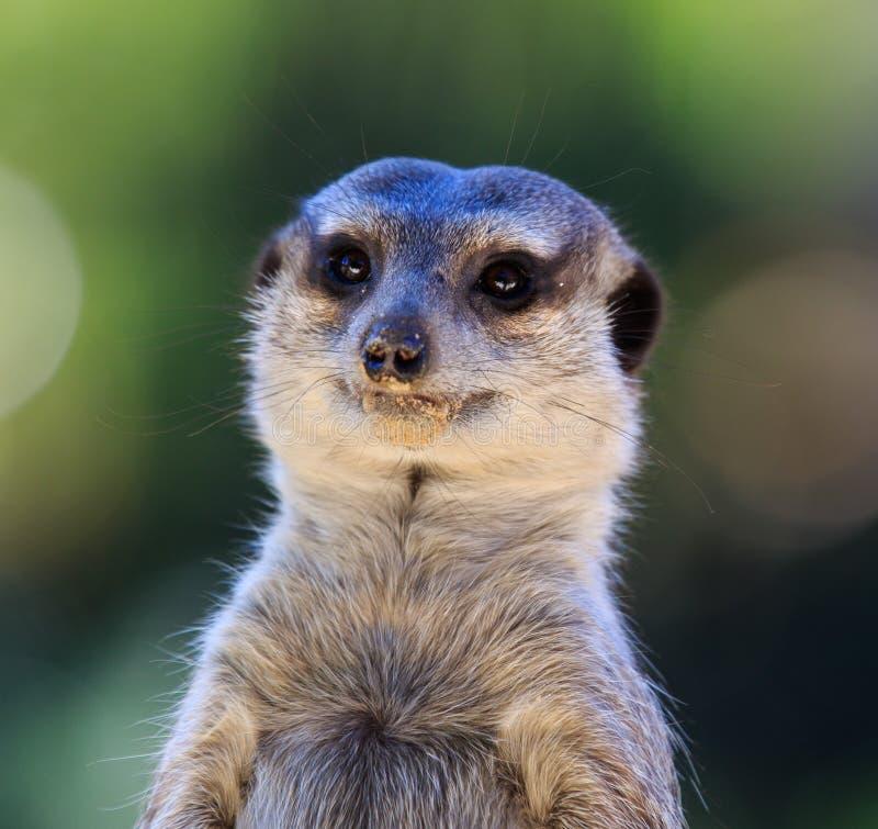 Портрет suricatta Suricata Meerkat, африканского родного животного, малого мясоеда принадлежа к семье мангусты звеец стоковая фотография rf