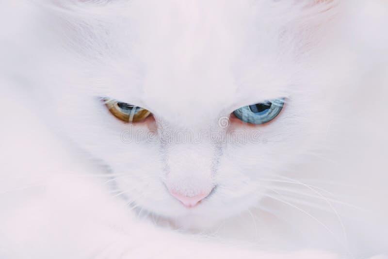 Портрет turkish фургона кота стоковая фотография rf
