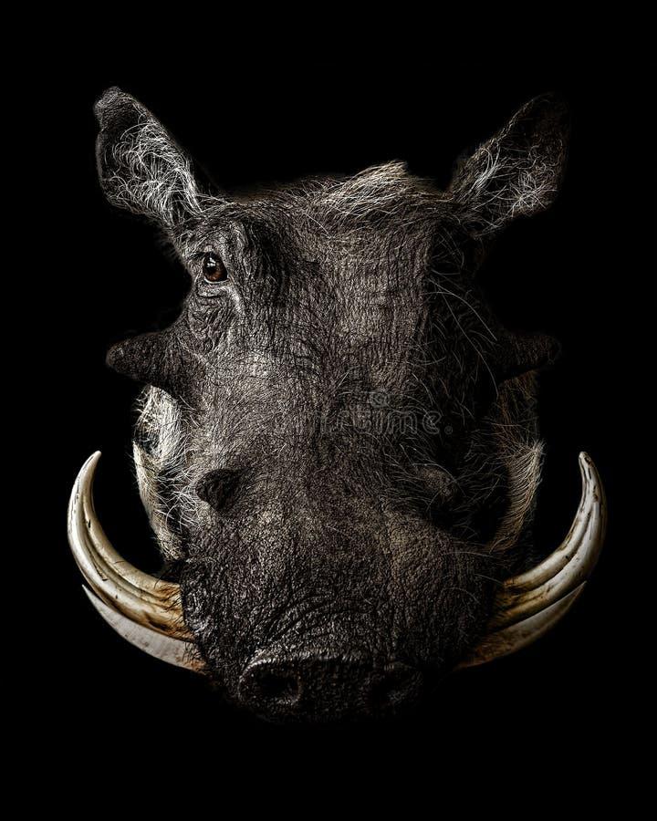 Портрет Warthog стоковые фотографии rf