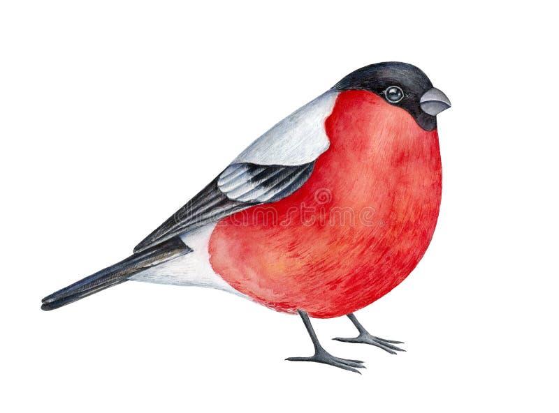 Портрет Watercolour прекрасной стилизованной птицы bullfinch иллюстрация вектора