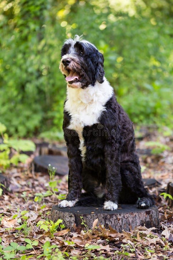 Португальская собака воды представляя на пне в древесинах стоковое фото