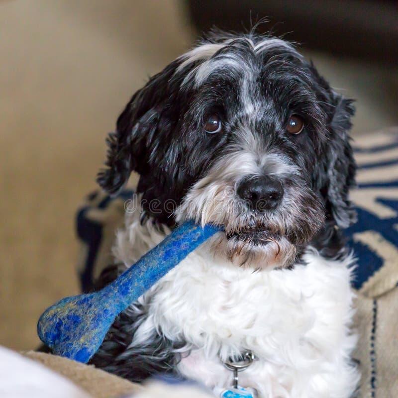 Португальская собака воды с косточкой игрушки в рте стоковое изображение rf