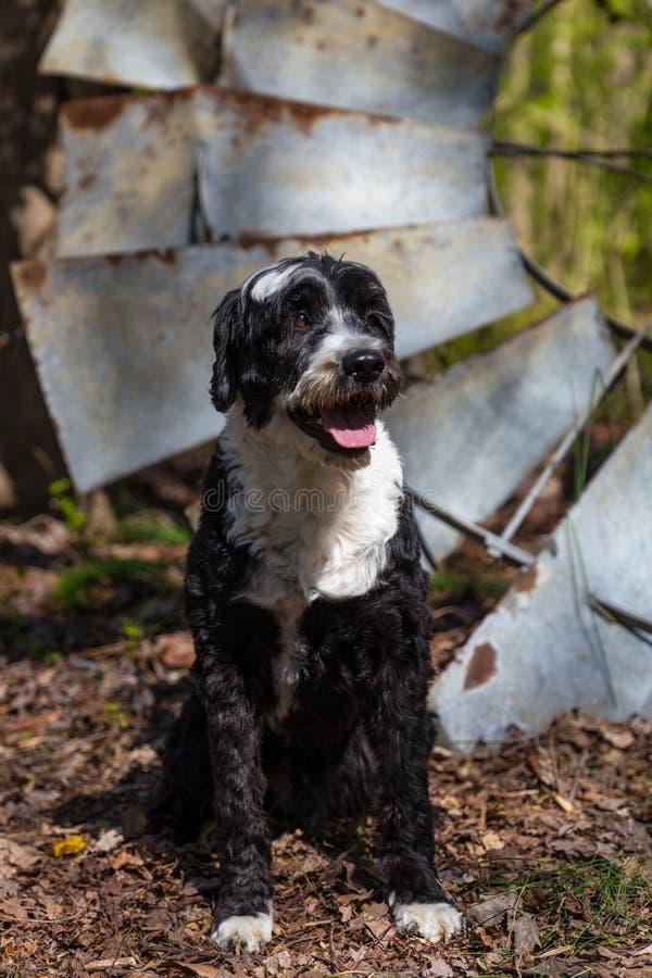 Португальская собака воды испускает лучи в солнце позднего утра стоковое изображение rf