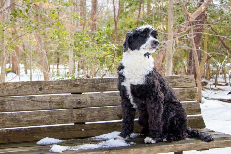 Португальская собака воды стоковое изображение