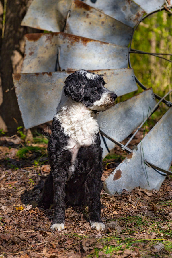 Португальский профиль собаки воды стоковое фото