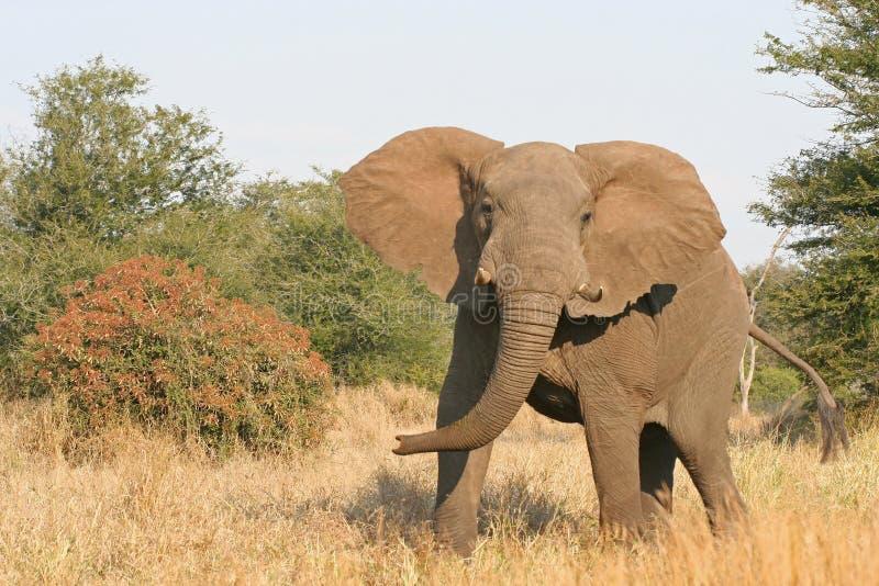 поручая слон стоковая фотография rf