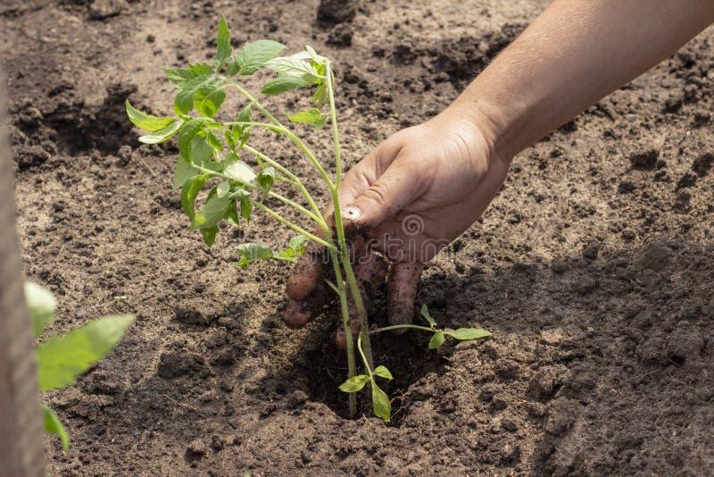 Посадка в земных заводах ростков томата скачет саженцы солнечного дня лета стоковое фото