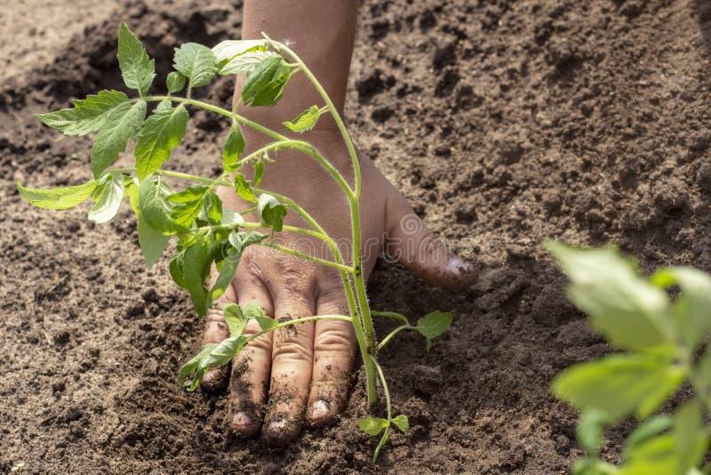 Посадка в земных заводах ростков томата скачет саженцы солнечного дня лета стоковые изображения