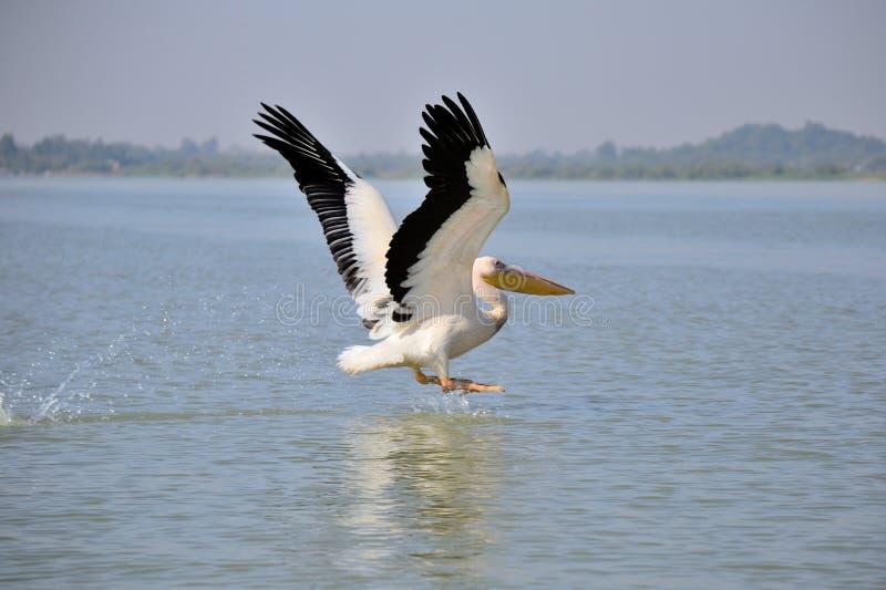 Посадка пеликана на озере стоковые изображения