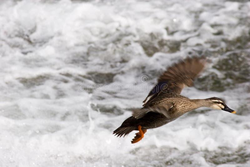 посадка утки стоковая фотография