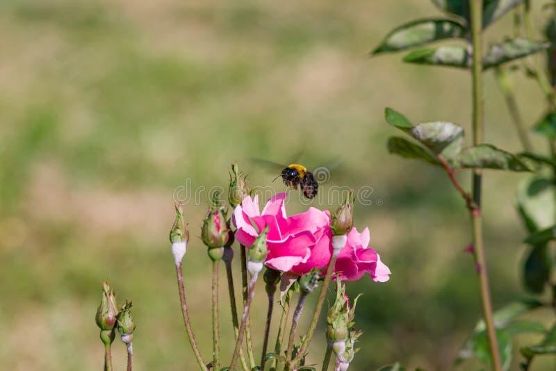 Посадка шмеля на цветках стоковое изображение