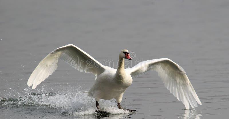 Посадка безгласного лебедя стоковые изображения