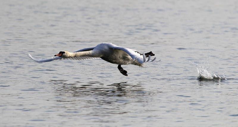 Посадка безгласного лебедя стоковое фото