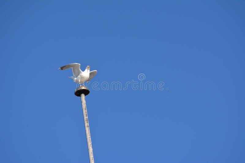 Посадка на поляке освещения - изменение чайки стоковая фотография