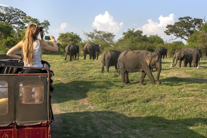 Посетитель к национальному парку Minneriya в Шри-Ланке принимает фото табуна одичалых слонов от задней части виллиса сафари стоковая фотография