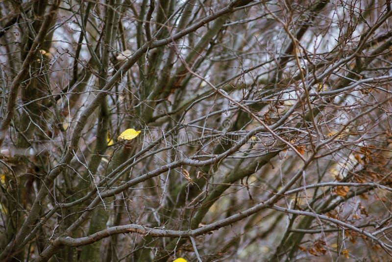 Последние уединенные желтые лист на ветви дерева в осени толщиной стоковая фотография