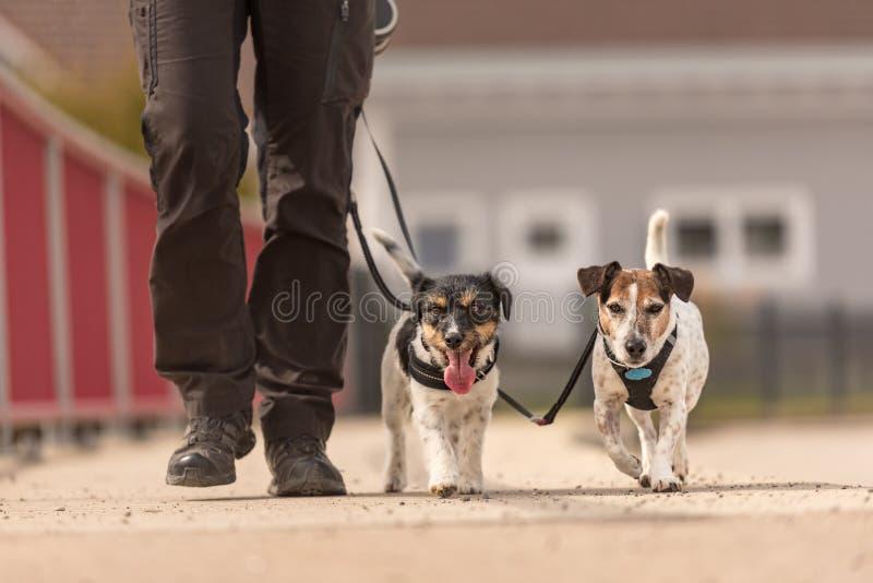 Послушные собаки идут на поводок с их владельцем в деревне - милых терьерах Джек Рассела стоковое фото