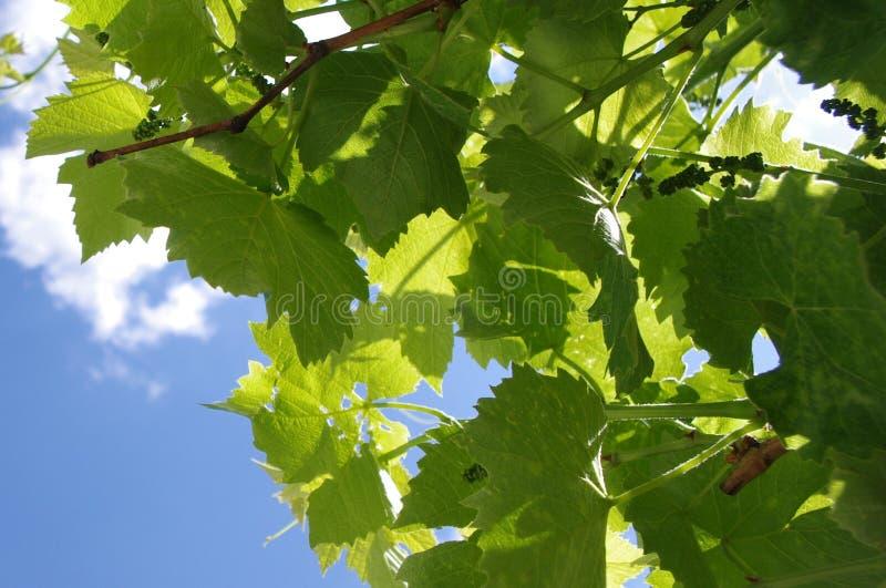 Посмотрите небо через листья виноградины стоковая фотография rf