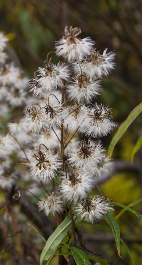 Постоянный herbaceous завод стоковое изображение