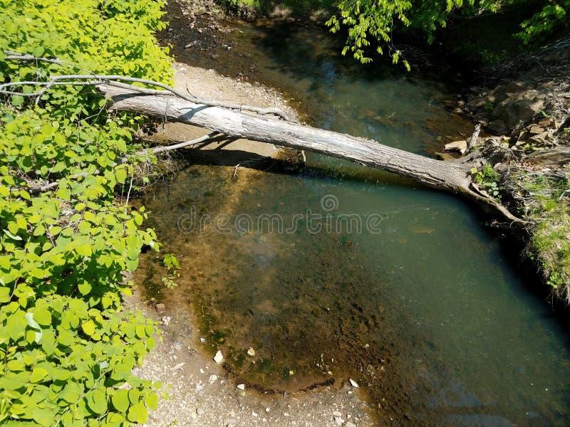 Поток или заводь с черными головастиками на береге с упаденным деревом стоковое фото rf
