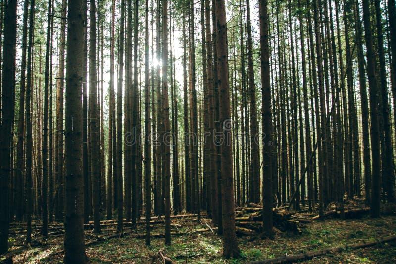 Потоптанный путь спруса ели горы лесных деревьев стоковые фото