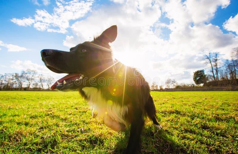 Потрясающая роскошная пограничная колье-собака, бегающая на улице в го стоковая фотография