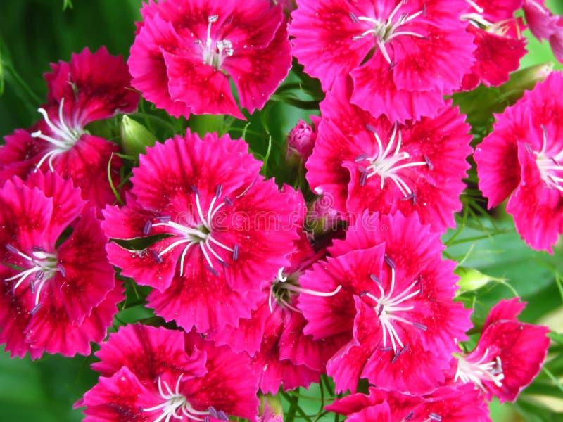 Потрясающий цветущий Diantos, или гвоздики, наполняет фоновые обои Ярко-розовый цикламенный цвет стоковые фотографии rf