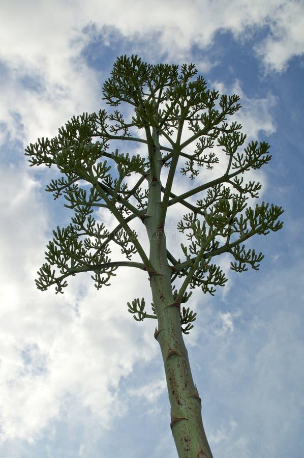 похожий на Дерев цветочный стебель завода столетия столетника стоковое фото rf