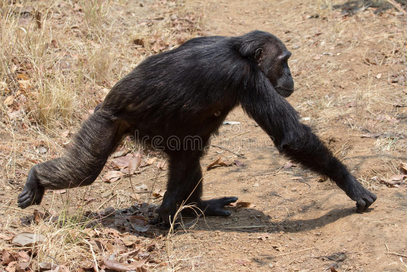 Походка шимпанзе стоковая фотография