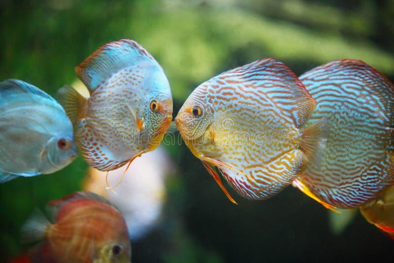 поцелуй рыб стоковые фото