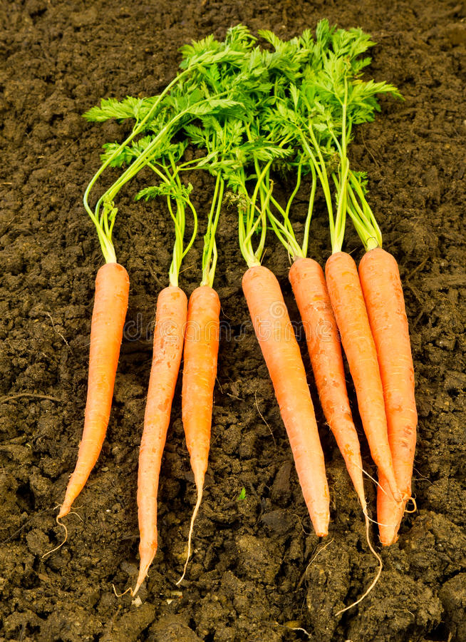 почва морковей свежая стоковое фото