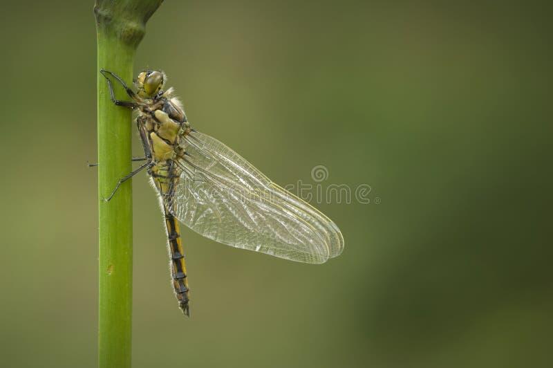 почерните замкнутую шумовку dragonfly стоковое фото rf