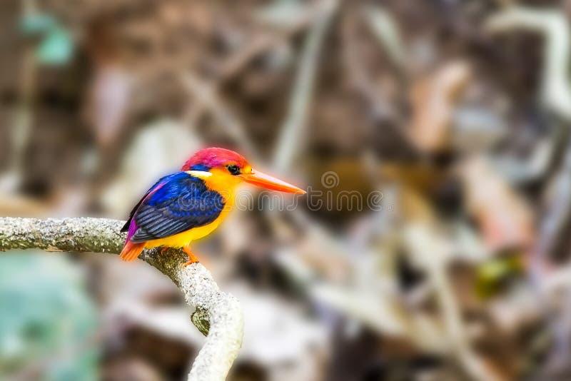 Почерните подпертый Kingfisher в парке пришл для воды стоковое фото rf