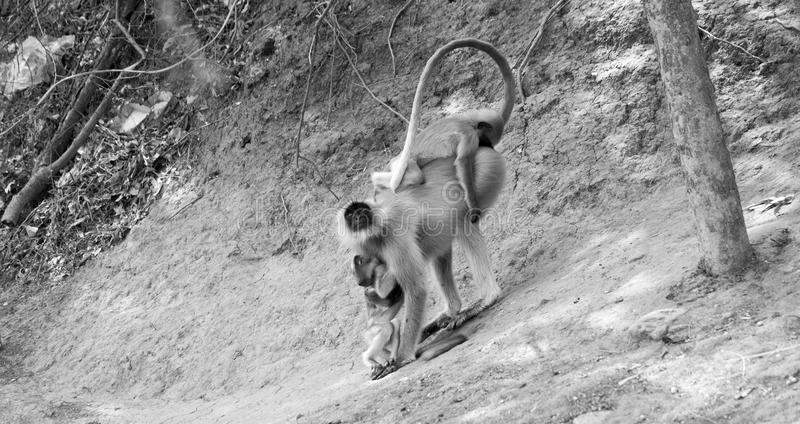 Почерните смотреть на обезьяну матери и младенца отбрасывая на расширении баньяна стоковые изображения rf