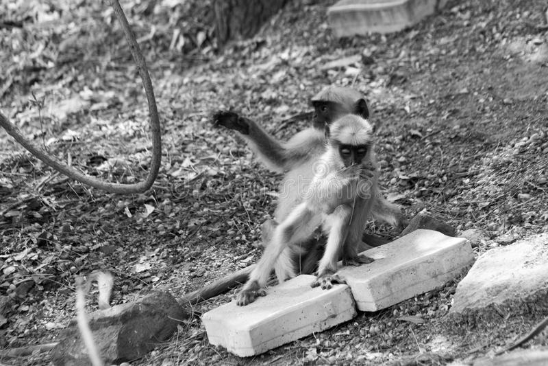 почерните смотреть на обезьяну младенца отбрасывая на расширении баньяна стоковое изображение