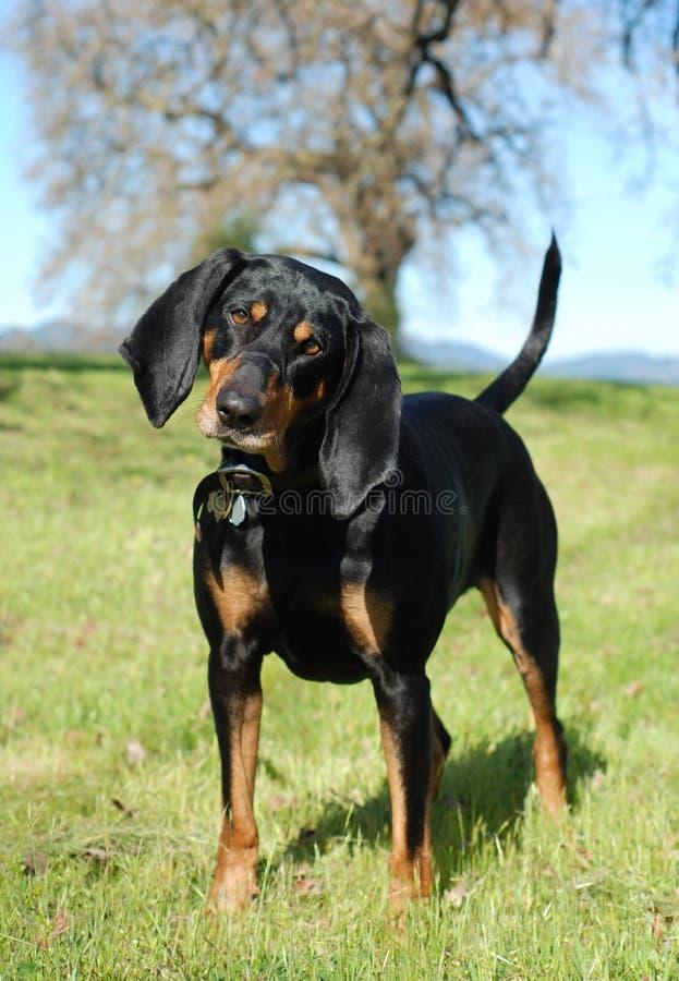 почерните tan coonhound стоковое изображение rf