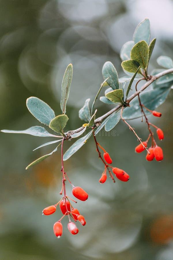 Почистьте ягоды щеткой зрея барбарисы стоковые изображения rf