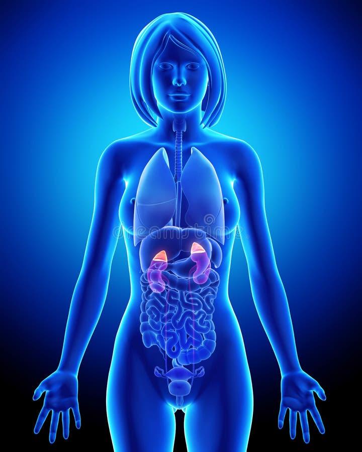 почка анатомирования женская прозрачная иллюстрация штока