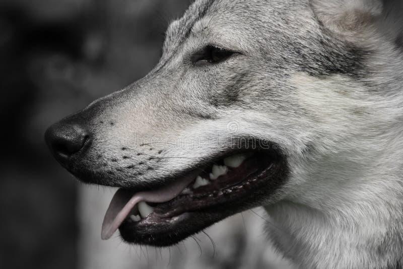 Почти волк стоковая фотография