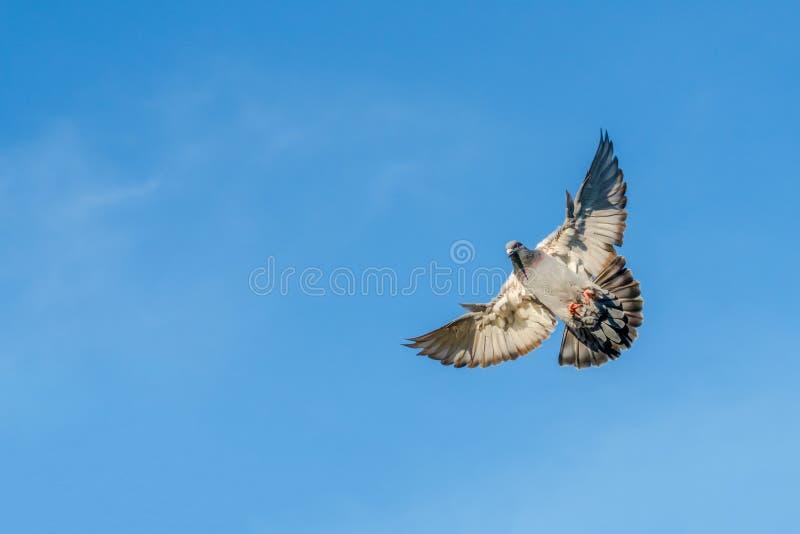 Почтовый голубь летая с голубым небом как предпосылка стоковые изображения