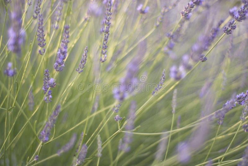 пошатывать лаванды цветений стоковое фото