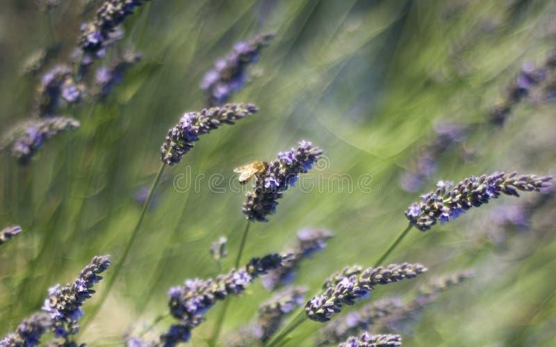 пошатывать лаванды honeybee стоковые изображения rf