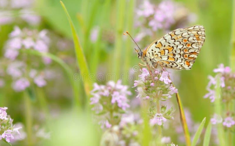 Подавать бабочки монарха стоковое фото rf
