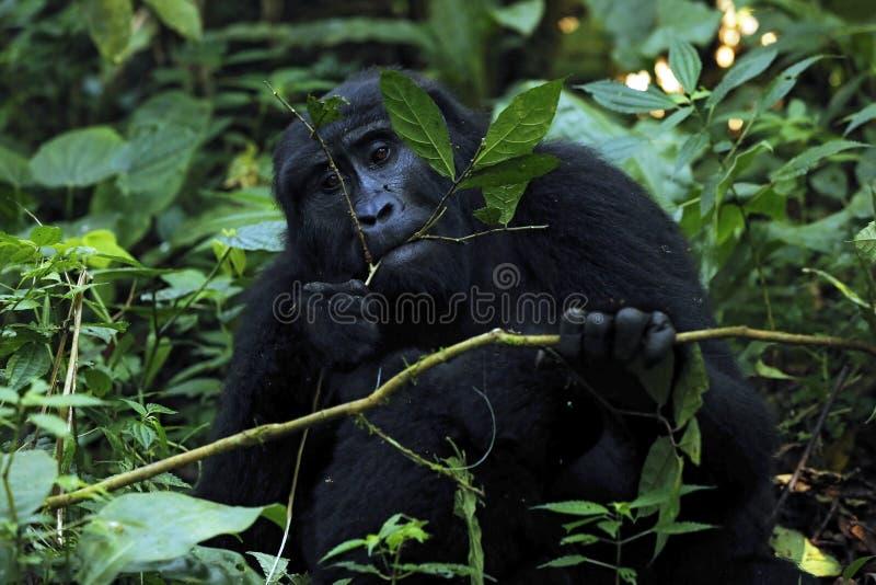 Подавать гориллы стоковая фотография