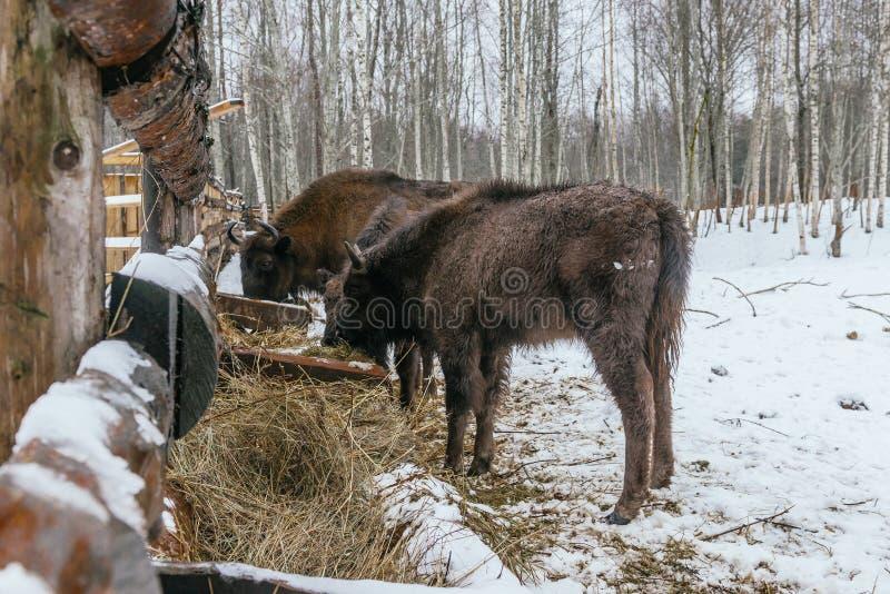 Подавать европейской семьи ` бизонов в национальном парке стоковая фотография rf