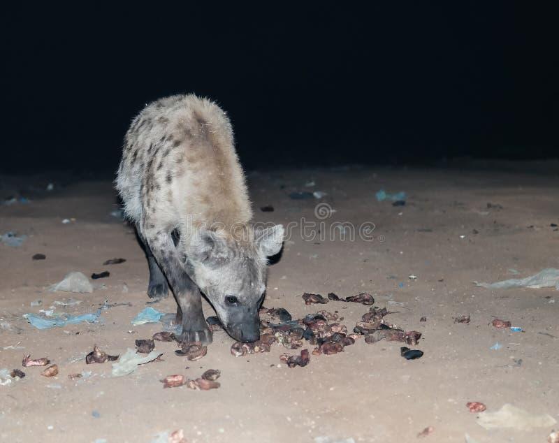 Подавать запятнанных гиен Harar, Эфиопия стоковое изображение rf