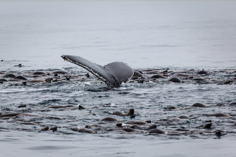 Подавать кита и морсых львев стоковая фотография rf