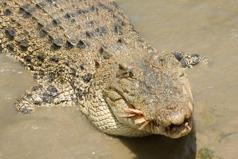 Подавать крокодила соленой воды стоковые изображения rf