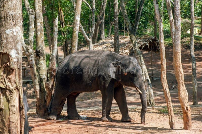 Подавать слона ждать на Kottoor, центре реабилитации слона Kappukadu стоковые фотографии rf
